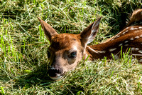 NEW FAWN  05242014-8101