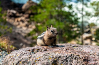 GOLDEN MANTLE CHIPMUNK  -09072013-9922