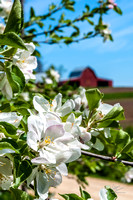 APPLE BLOSSOMS -05152013-5910